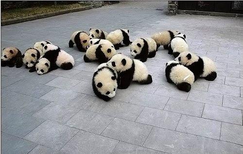 пандовая дипломатия, panda diplomacy, панда, panda, 熊猫, xiongmao