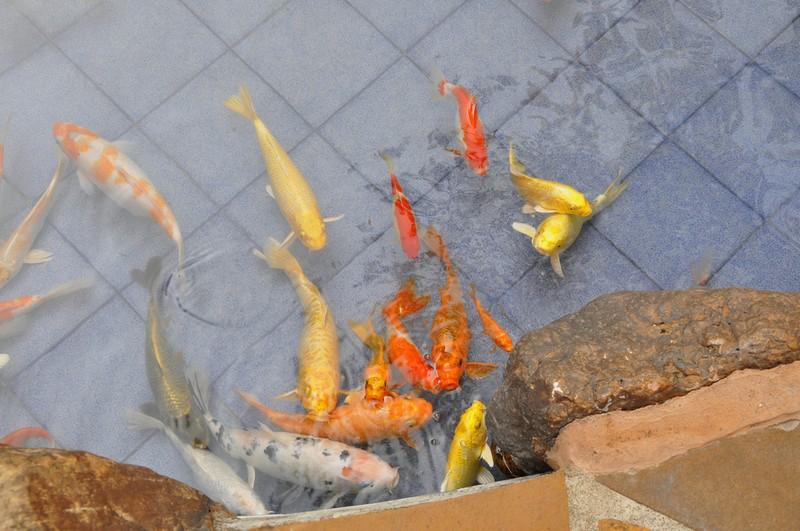 Монастырь Десяти тысяч Будд, китайские рыбы