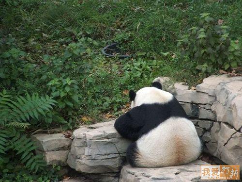 панда, sadpanda, panda