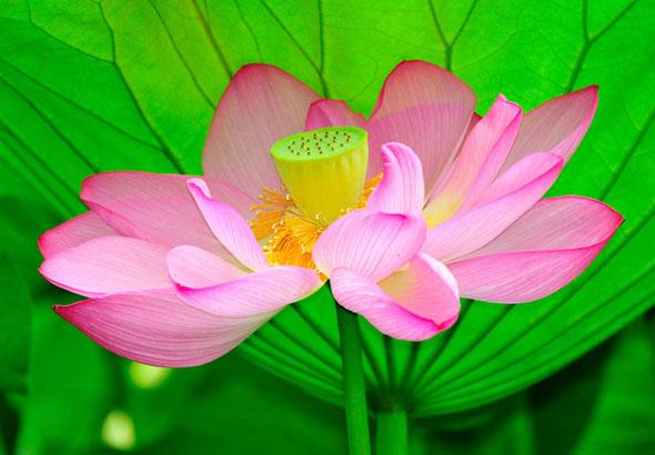 лотос, красный лотос, red lotus