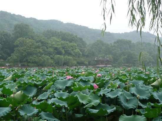 lotus, red lotus