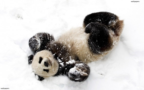 panda-in-the-snow