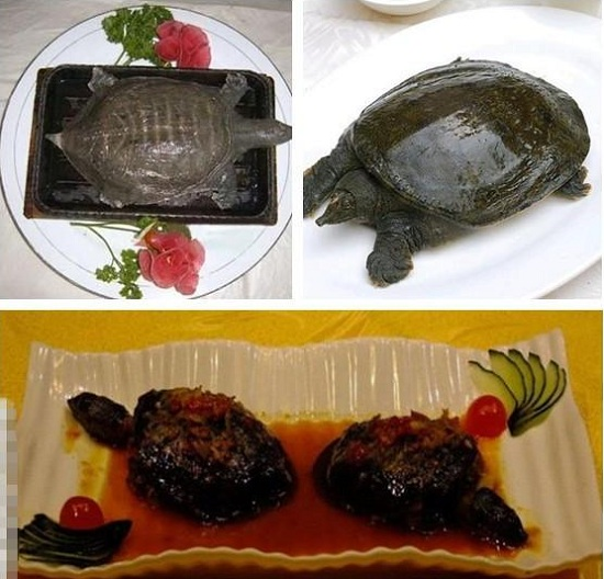 Hot-plate-turtle